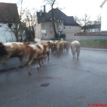 Entlaufene Rinder